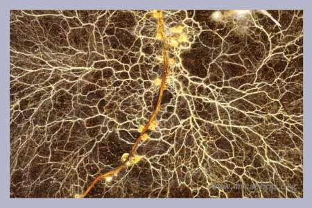 Fungal mycorhizzal network